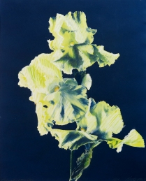 Branch of 3 Iris, 1984; Cyanotype, watercolor, pastel; Object size: 508 x 402 mm