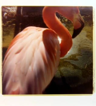 St. Petersburg FL (flamingo), 1975; Ektacolor print; Object size: 532 x 508 mm