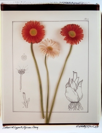 Botanical Layout: African Daisy, 1979; Polacolor II, Object size: 722 x 673 mm