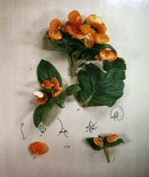 Botanical Layout: Calceolaria, 1980; Polacolor II; 733 x 615 mm