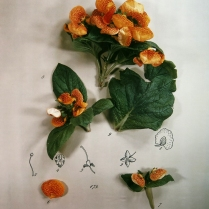Botanical Layout: Calceolaria, 1980; Polacolor II; 733 x 615 mm