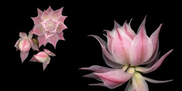 Joyce Tenneson, Pink Blushing Bride, 2016/2018; inkjet pigment print