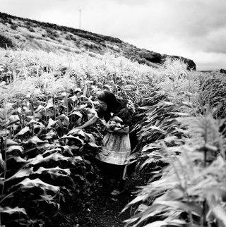 Kistin Capp; Rebecca Walter Harvesting Corn, Lamona Colony, Washington, 1996; inkjet pigment print; 524x519mm