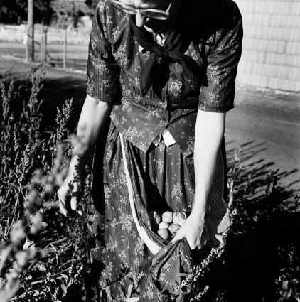 Kistin Capp; Rebecca Walter Harvesting Tomatillos, Lamona Colony, Washington, 1996; inkjet pigment print; 523x519mm